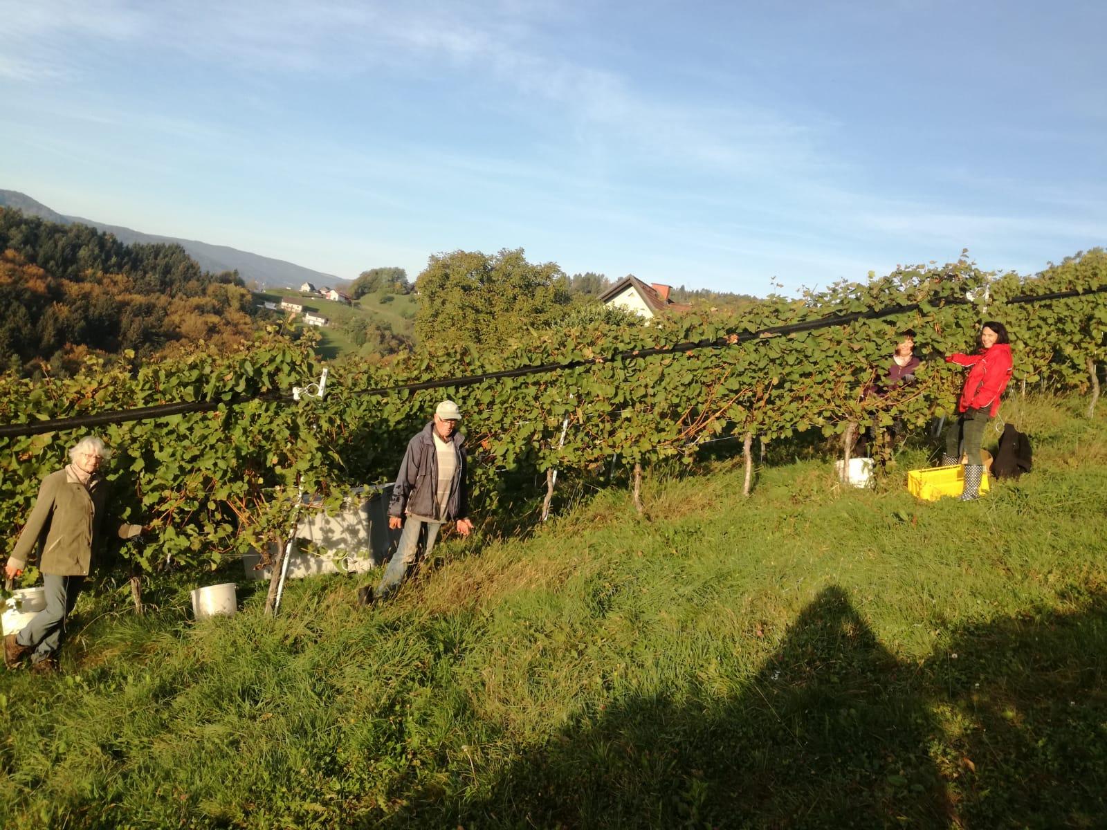 Helfer im Weingarten
